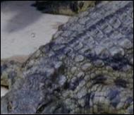 crocodile_3